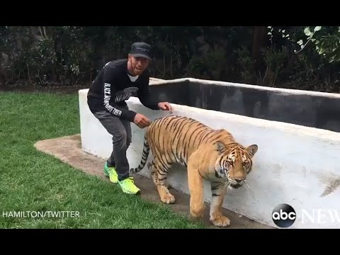This is what will happen if you scare a tiger from behind...