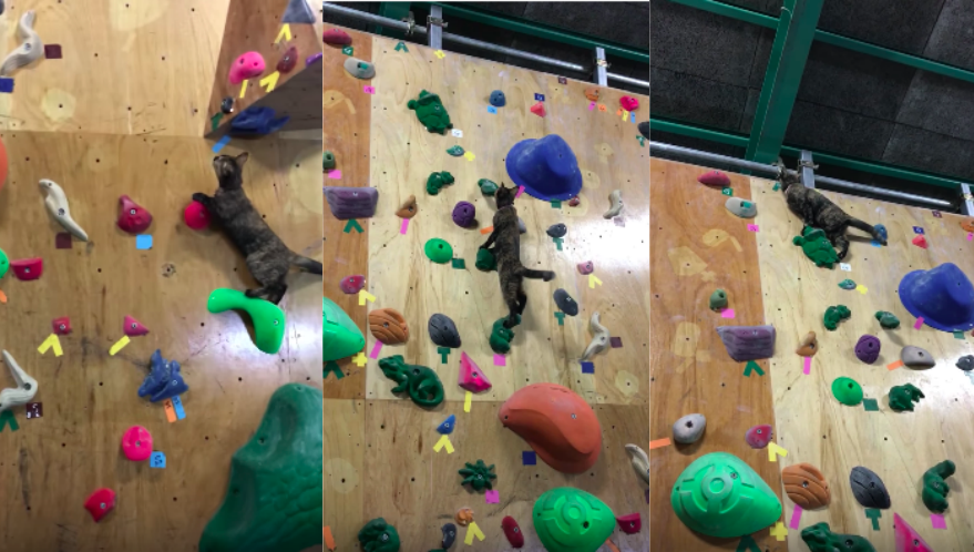 How this kitty climbed to the top of the climbing wall will completely shock you!