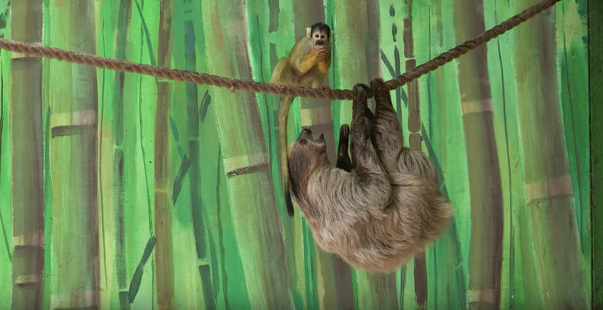 What did this monkey do to a sloth will crack you up!