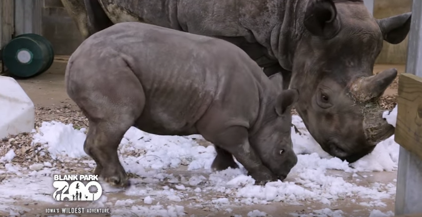 Baby rhino discovering snow will be the cutest thing you will see today!
