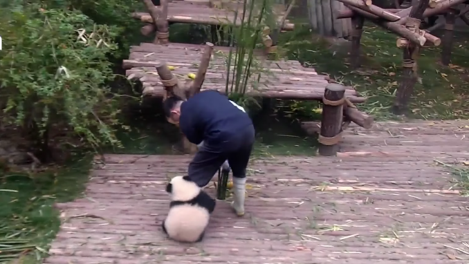 Baby panda being clingy to the zoo keeper will be the cutest thing you will see today!