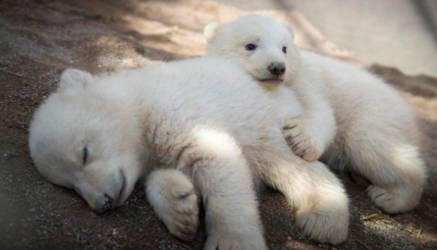 Twin polar bear cubs exploring the world will give you a cuteness overdose!