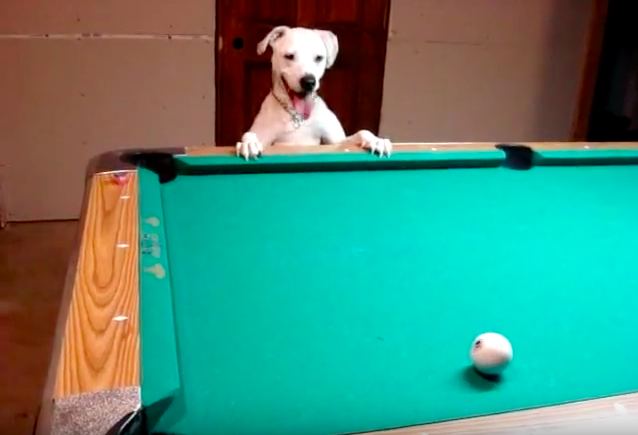 How good is this dog at playing pool will completely amaze you!