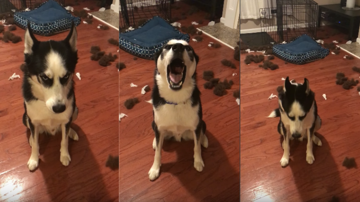 Husky talking back to his parents after creating a mess will instantly crack you up!