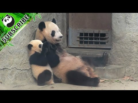 Baby pandas being clingy will make you laugh out loud!