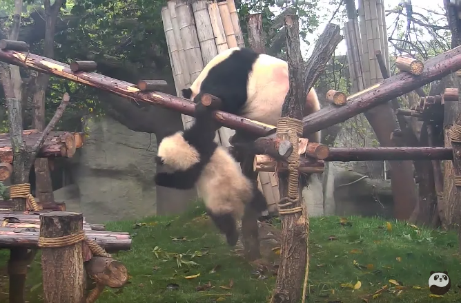 These funny moments of giant pandas will make you laugh out loud!