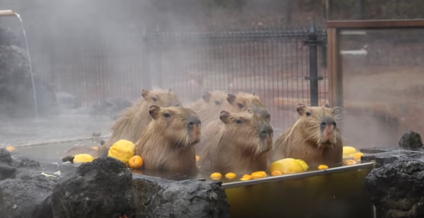 Capybara soaking in a Japanese hot spring will bring you inner peace!