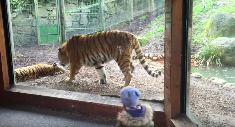 What happened after this tiger waking up his friend in sleep will completely shock you!