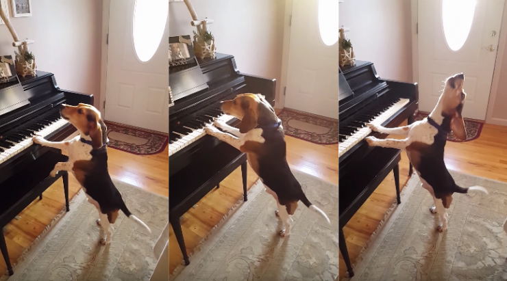 Talented dog singing and playing piano will be the cutest thing you will see today!