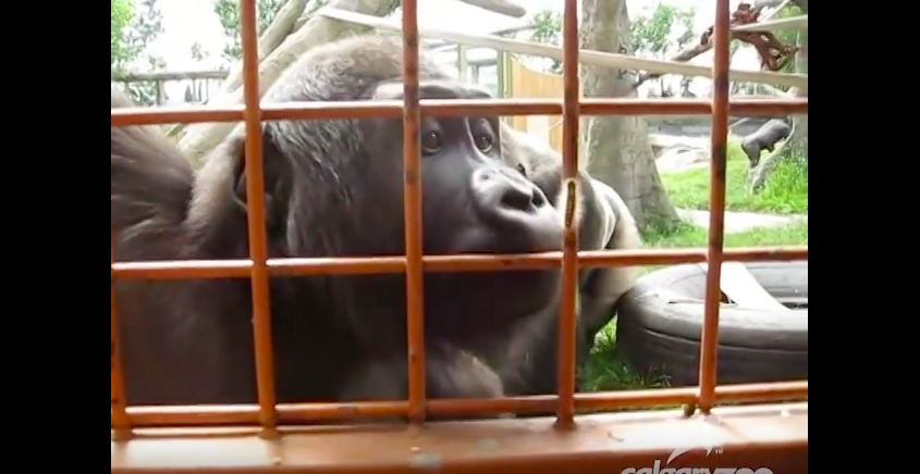Gorillas observing a caterpillar will be the funniest thing you will see today!