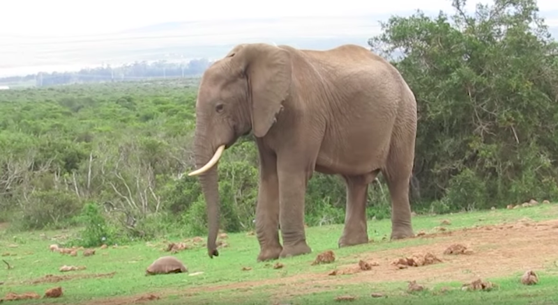 What did this elephant do to a turtle will completely surprise you!