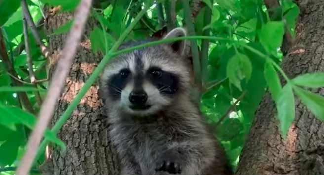 Raccoon babies making a human friend will be the cutest thing you will see today!