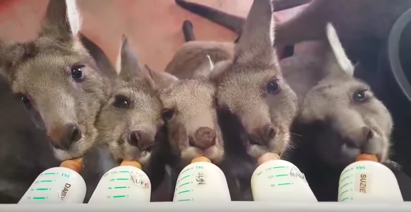 Feeding baby kangaroos in a row with bottles will be the cutest thing you will see today!