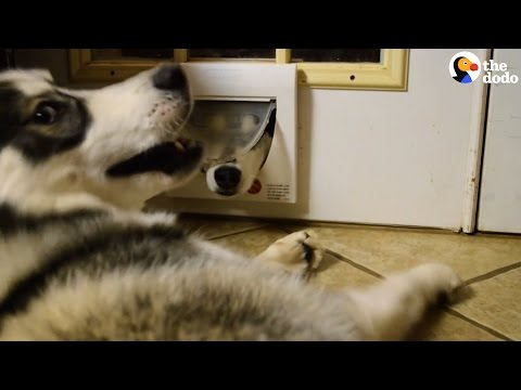 Cute husky teasing her brother who is stuck in a cat door will crack you up!