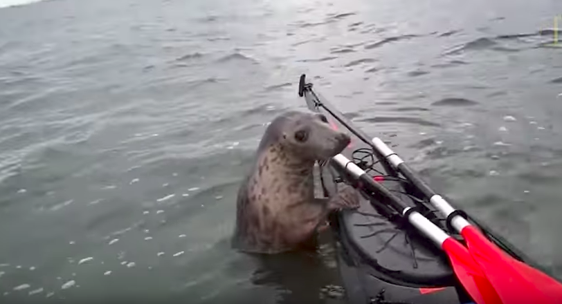 Sea seal catching a ride on a kayak will be the cutest thing you will see today!