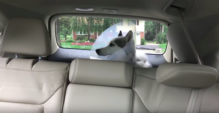 What did this husky do when recovering from the anesthesia after the surgery will crack you up!