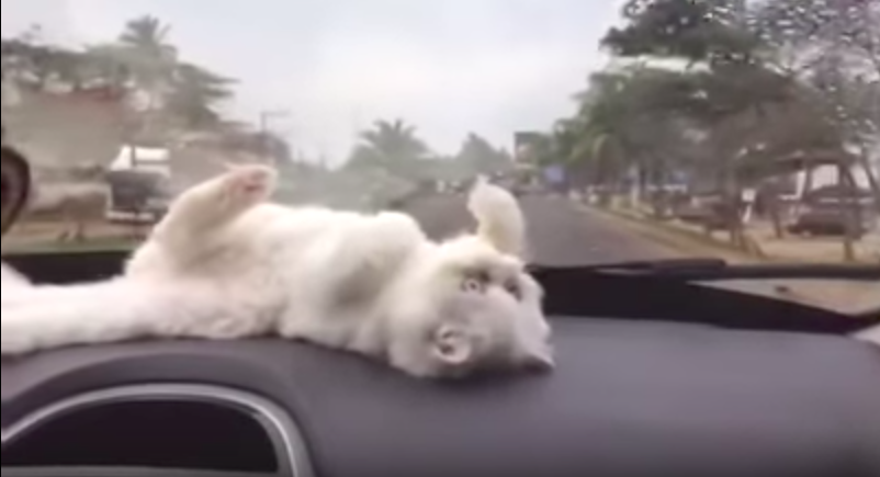 Cat catching the windshield wipers will be the cutest thing you will see today!