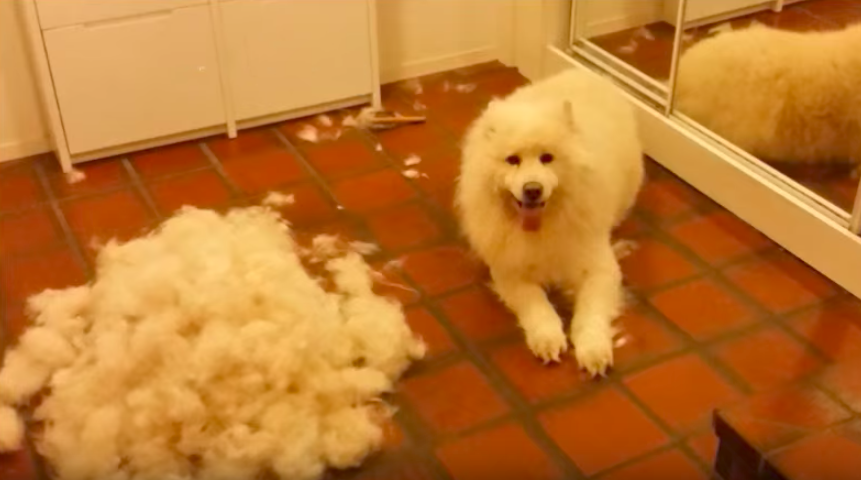 This is the reason why you need to groom your Samoyed often...