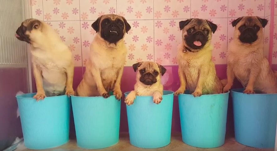 Pugs taking bath in their pails will be the cutest thing you will see today!