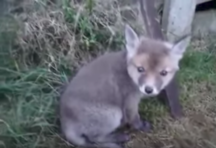 Watch what happens when a man frees a fox cub from a tin can...