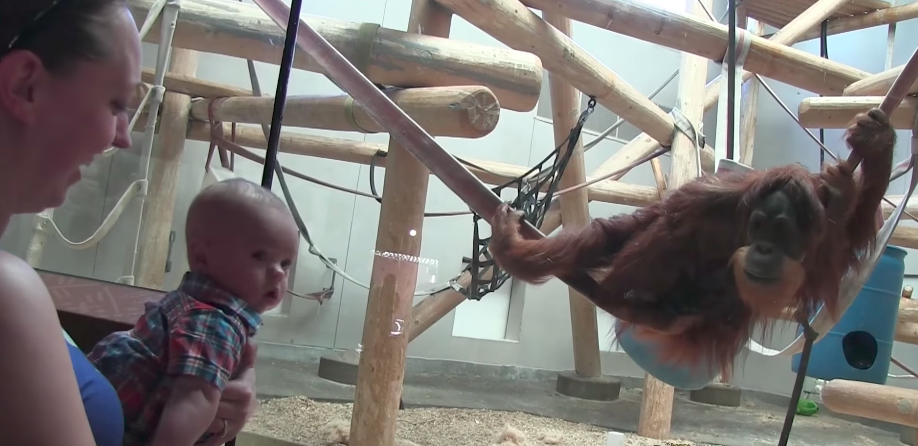 What did this orangutan do to the baby will warm your heart!