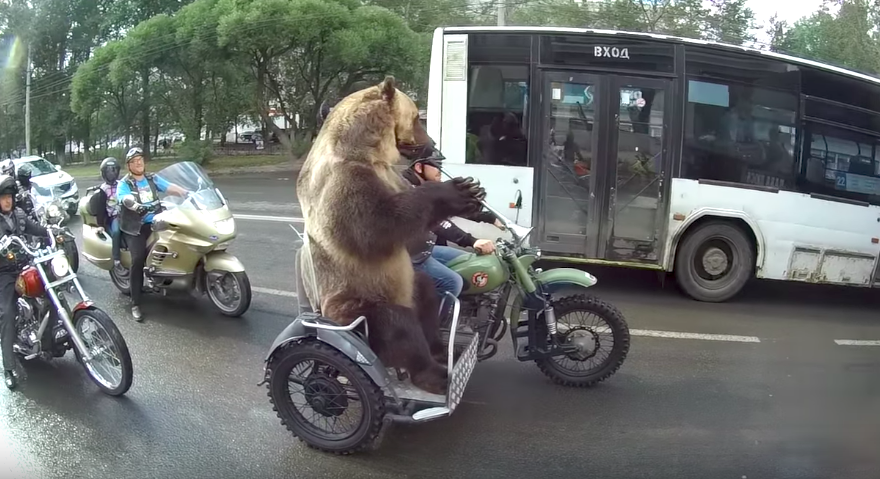 Bear riding a motorcycle on the street will be the most shocking thing you will see today!