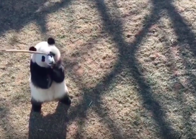 This is how you can feed giant pandas food...
