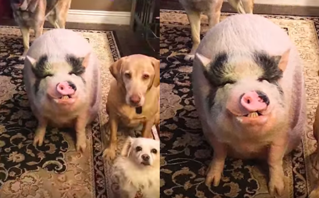 This pig knows that he is smarter than his dog siblings...