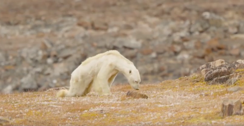 Polar bear living on iceless land will make you heart-wrenching!