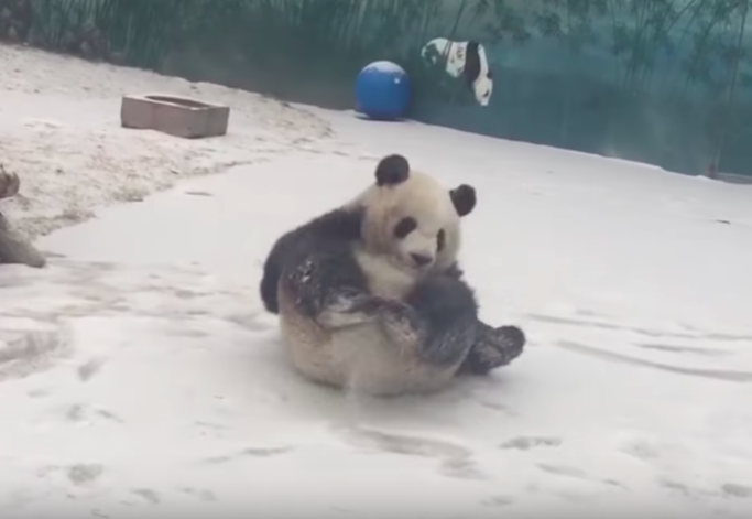 Panda having a blast in the snow will be the cutest thing you will see today!