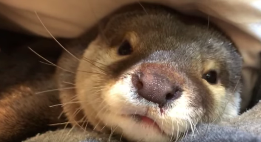 Otter sleeping in bed with her owner will be the sweetest thing you will see today!
