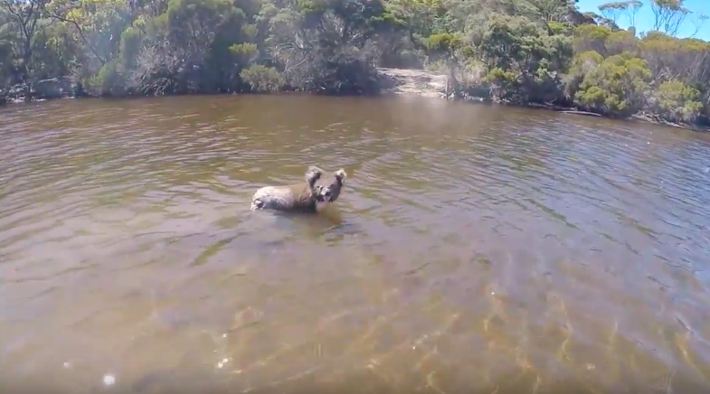 You might not know that koala can swim well too!