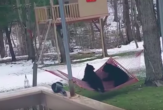 Curious bear cubs playing with hammock will make you laugh out loud!