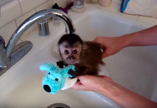 Baby monkey taking a bath will be the cutest thing you will see today!