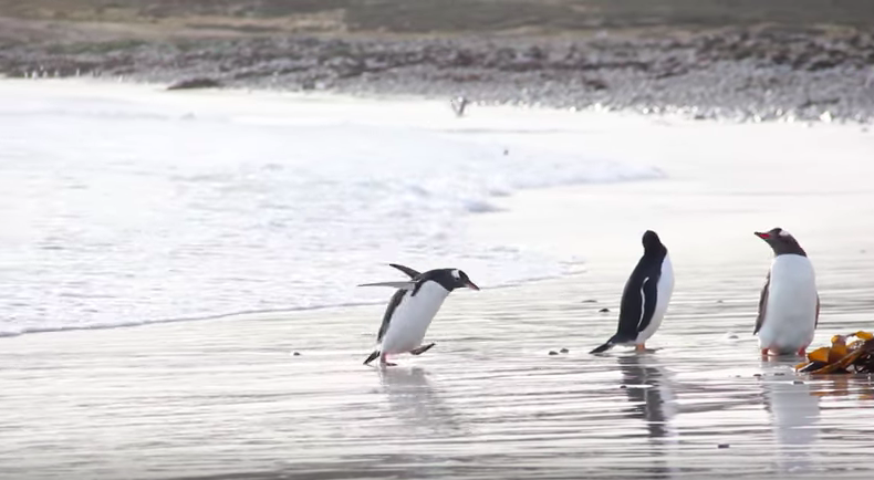 Funny penguin scared by the ocean will crack you up!