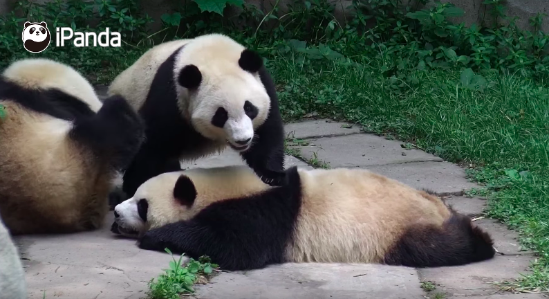 This is how pandas massage each other...