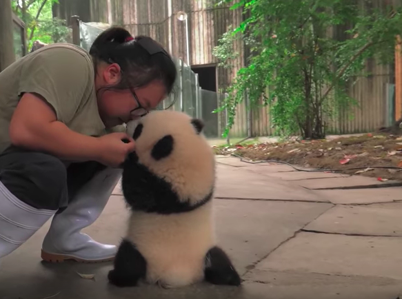 It is not easy to teach panda cub how to walk...