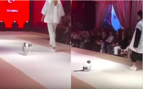 Cat having fun on the runway stage will bring you cuteness overload!