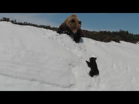 Bear cup climbing snow mountain with mama bear will make you feel encouraging!