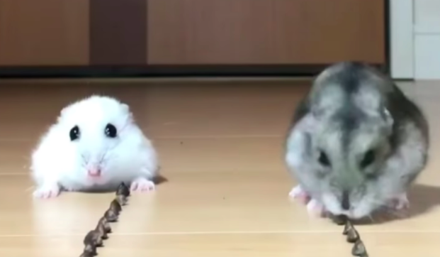 Hungry hamsters eating food together will bring you cuteness overload!