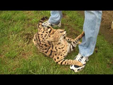 african house cat breeds